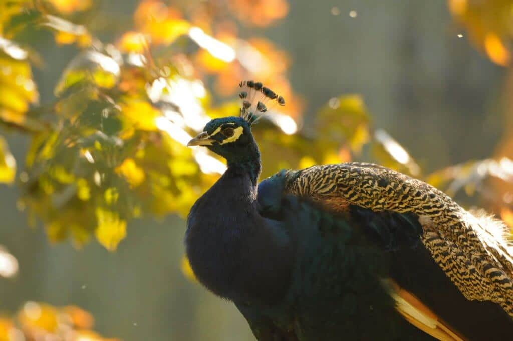 A beautiful peacock in September sunshine at the Children's Zoo, Walton Hall and Gardens. Picture by Darren Moston. Part of the Children's Zoo Gallery.