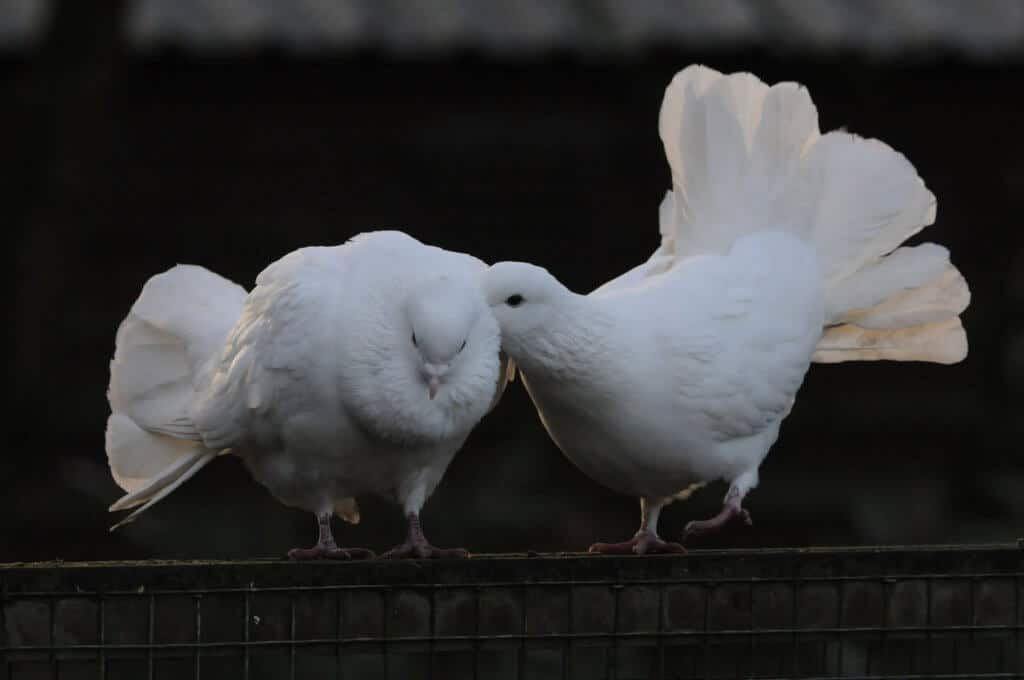 A pair of fantails doves at the Children's Zoo, Walton Hall and Gardens. Picture by Darren Moston.