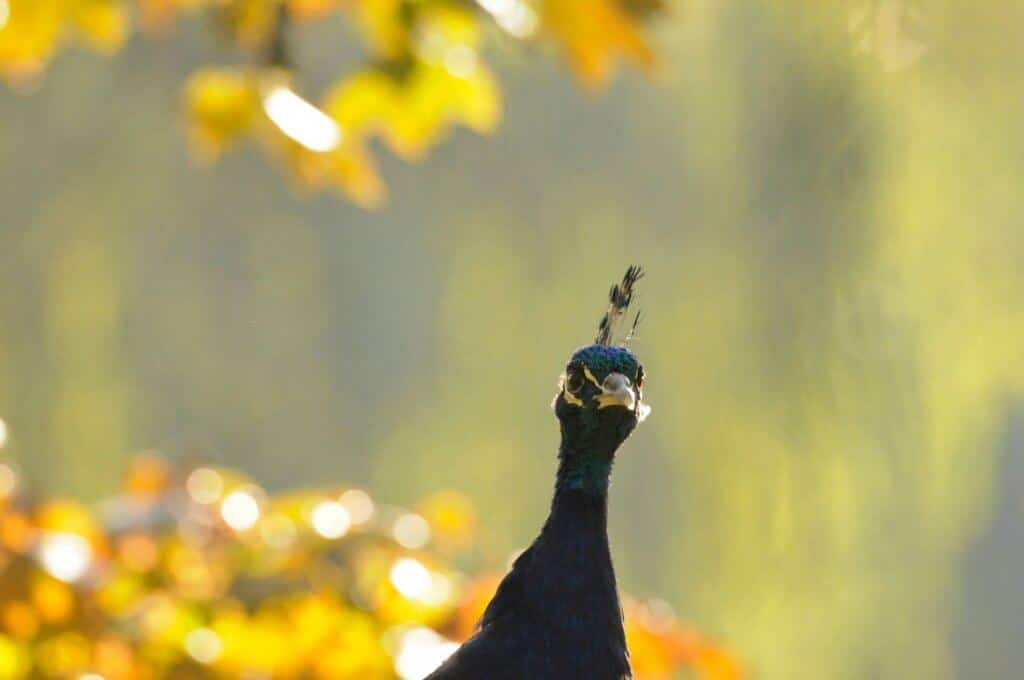 A beautiful peacock in the September sunshine at Walton Hall and Gardens. Picture by Darren Moston.
