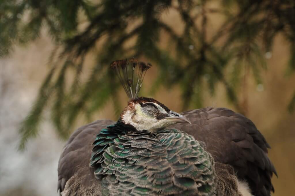 A snoozing peahen at the Children's Zoo, Walton Hall and Gardens. Picture by Darren Moston.