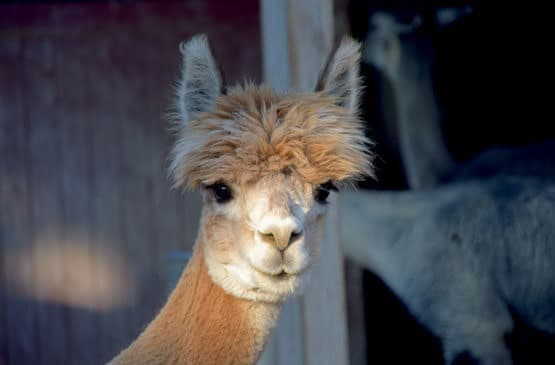Meet our alpaca at Walton Hall and Gardens Children's Zoo.