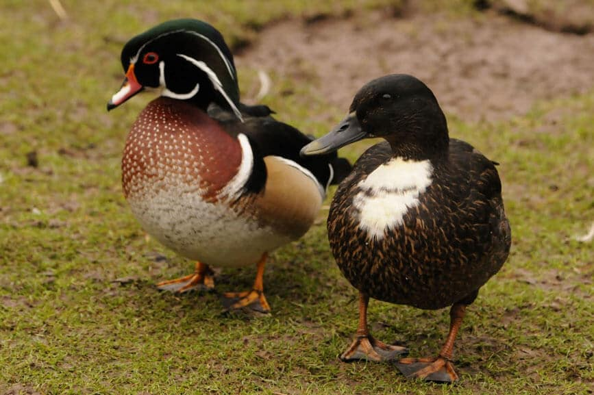 Carolina wood duck waddling along at the Children's Zoo, Walton Hall and Gardens. Picture by Darren Moston.