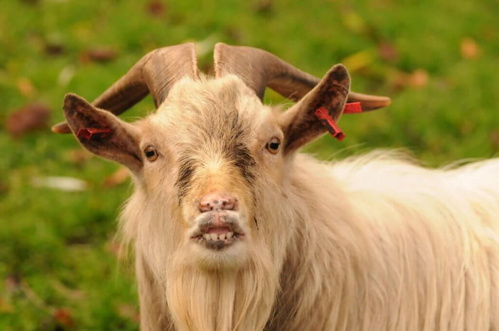 A smiling Casper the African Pygmy Goat at the Children's Zoo. Picture by Darren Moston. Part of the Children's Zoo Gallery.