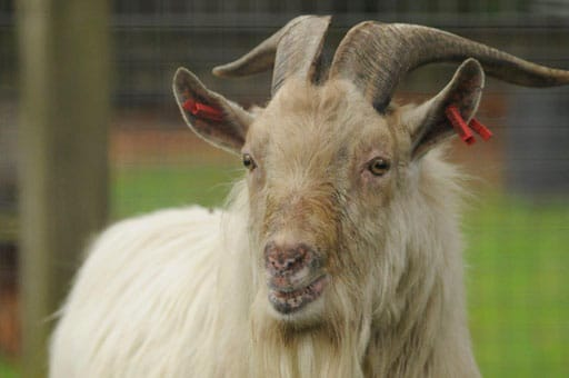 Casper the Billy goat at the Children's Zoo at Walton Hall and Gardens. Part of the Children's Zoo gallery.