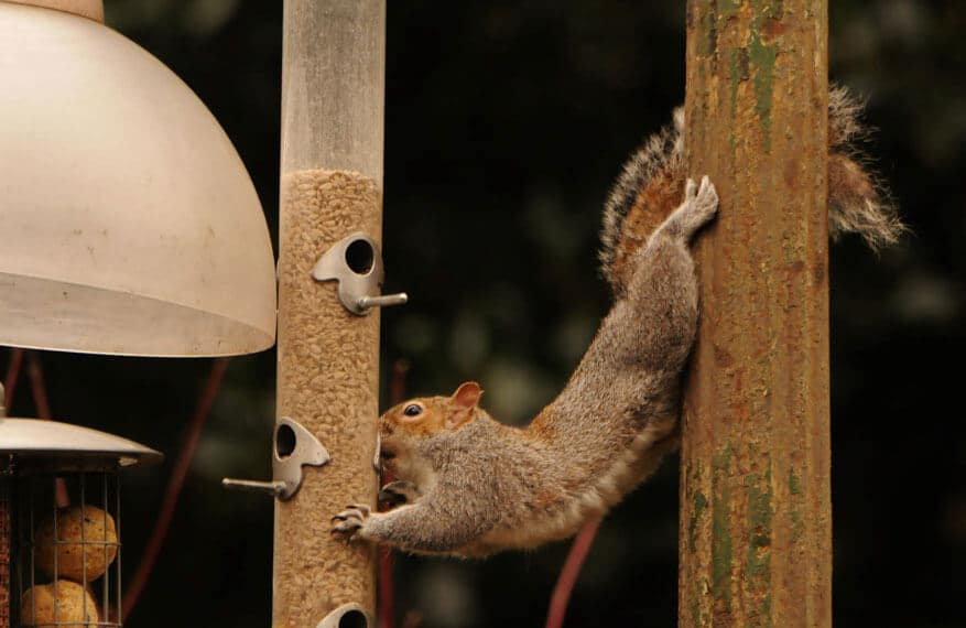 A cheeky squirrel pinching seeds from a bird feeder at Walton Hall and Gardens. Picture by Darren Moston.