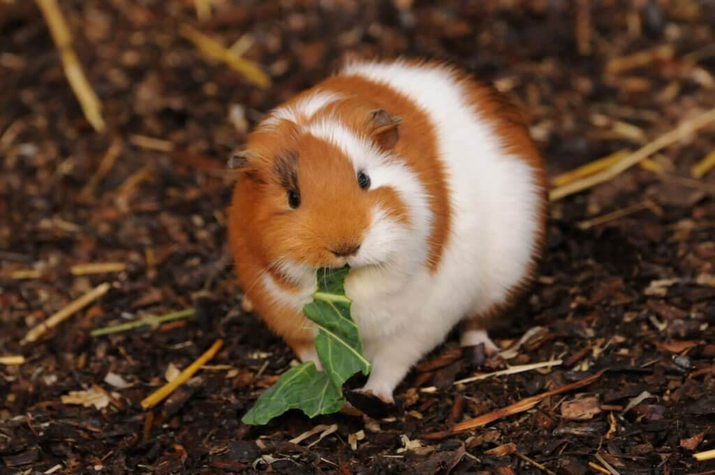 A guinea pig chewing on some cabbage at the Children's Zoo. Picture by Darren Moston.