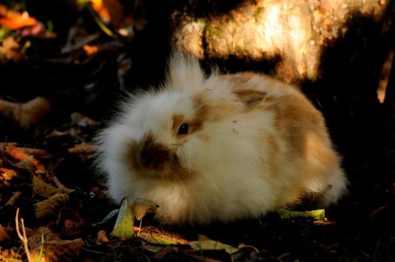 A fluffy guinea pig at the Children's Zoo, Walton Hall and Gardens. Part of the Children's Zoo Gallery.
