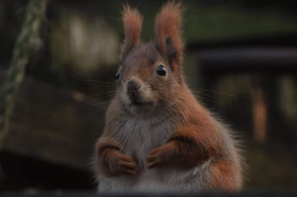 A plump red squirrel at Walton Hall and Gardens Children's Zoo. Picture by Darren Moston. Part of the Children's Zoo Gallery.