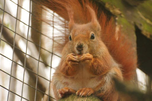 Red squirrel chewing on a nut inside the Children's Zoo, at Walton Hall and Gardens