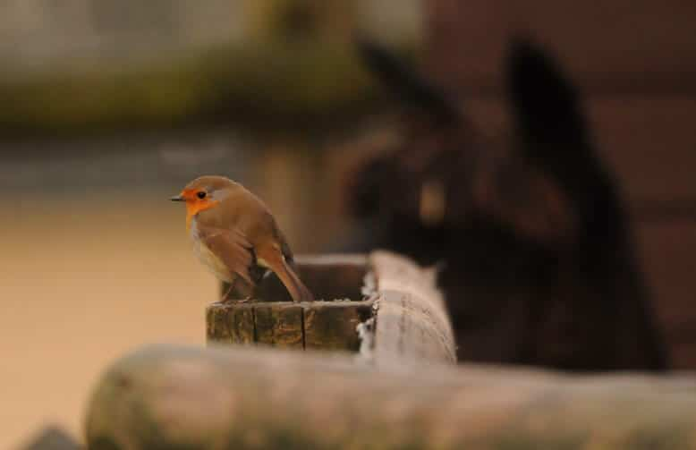 A robin perched on a fence at the Children's Zoo at Walton Hall and Gardens. Part of the Children's Zoo gallery.