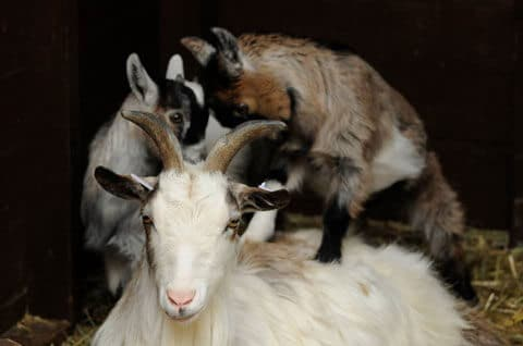 Baby African pygmy goats born in 2019 with their mother at the Children's Zoo. Picture by Darren Moston.