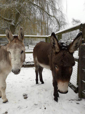 Lenny and Charlie in a snowy Children's Zoo at Walton Hall and Gardens. Part of the Children's Zoo gallery.