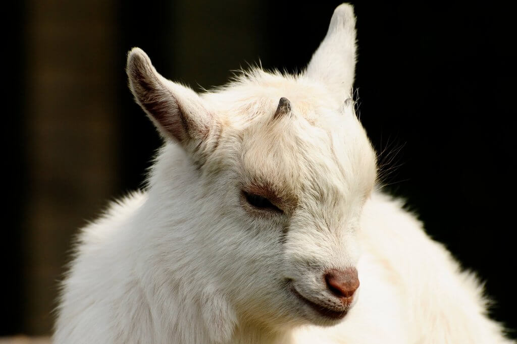 The new brood of African Pygmy Goats at the Children's Zoo, Walton Hall and Gardens. Part of the Children's Zoo gallery.