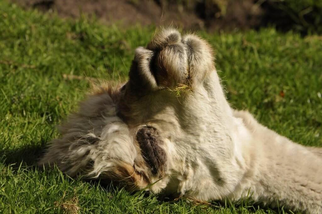 Jim the alpaca sunbathing at the Children's Zoo, Walton Hall and Gardens. Part of the Children's Zoo gallery.