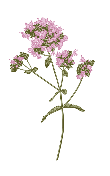 An illustrated flower from the formal gardens of Lady Daresbury
