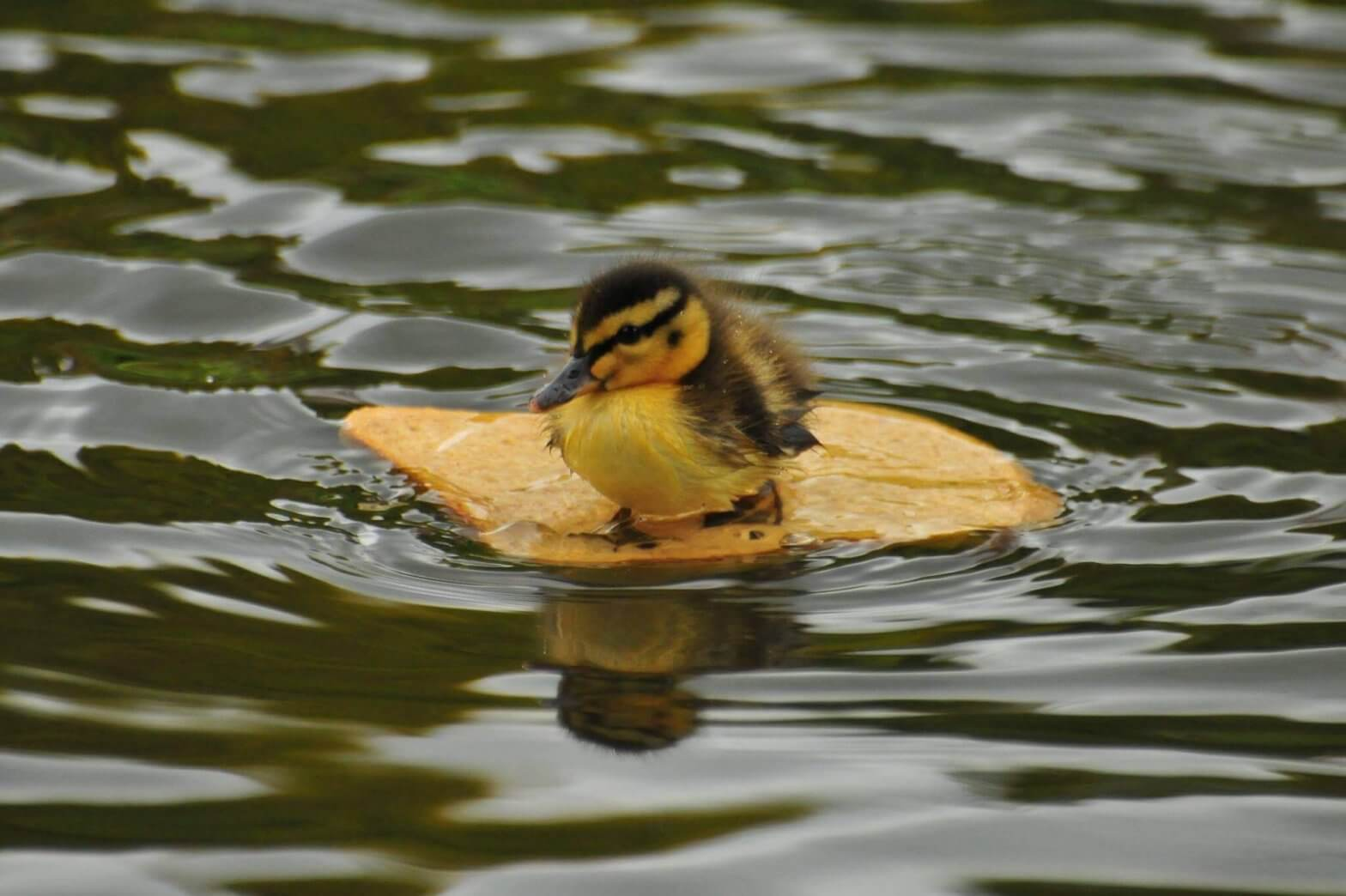 A duckling floating on a piece of bread at Walton Hall and Gardens. Picture by Darren Moston. Part of the Children's Zoo gallery.