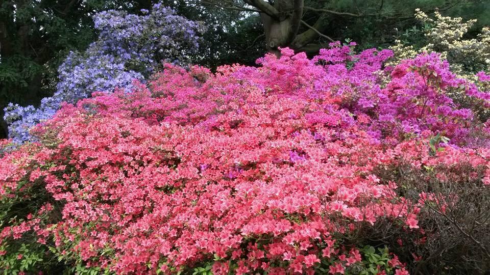 Azaleas in full bloom inside the formal gardens at Walton Hall and Gardens estate
