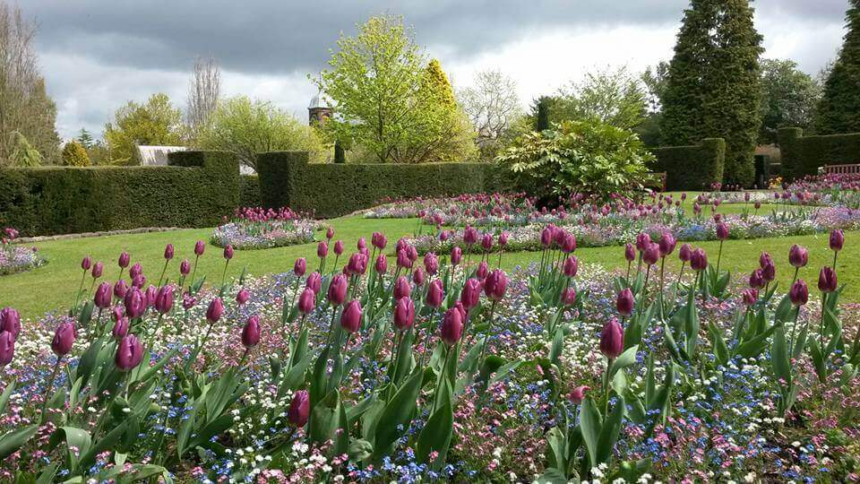 Tulips in bloom inside the formal gardens at Walton Hall and Gardens