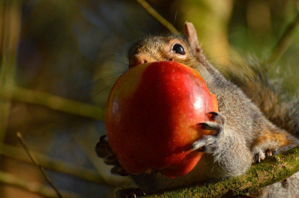 A cheeky grey squirrel with a whole apple in its mouth! Wildlife photography by Darren Moston. Part of the Children's Zoo Gallery.