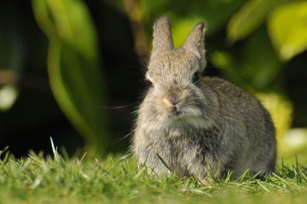 A wild rabbit at Walton Hall and Gardens. Taken by Darren Moston. Part of the Children's Zoo gallery.