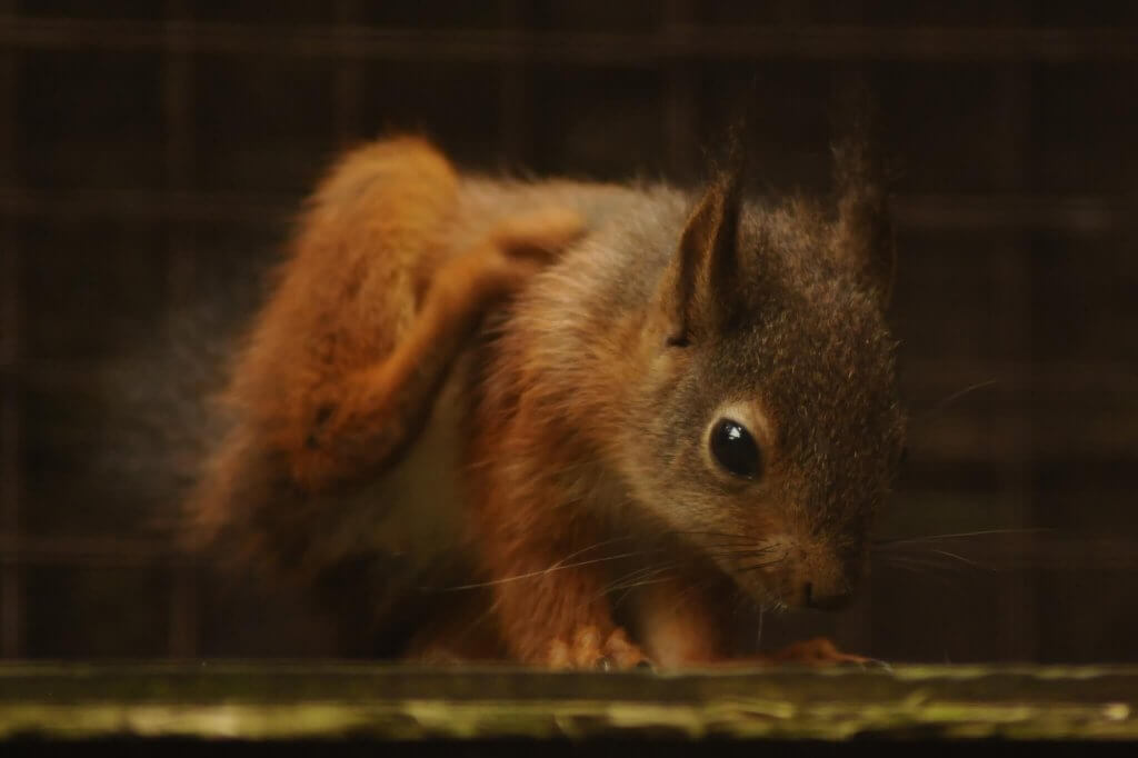 Baby red squirrel sniffing around at the Children's Zoo, Walton Hall and Gardens. Picture by Darren Moston. Part of the Children's Zoo Gallery.