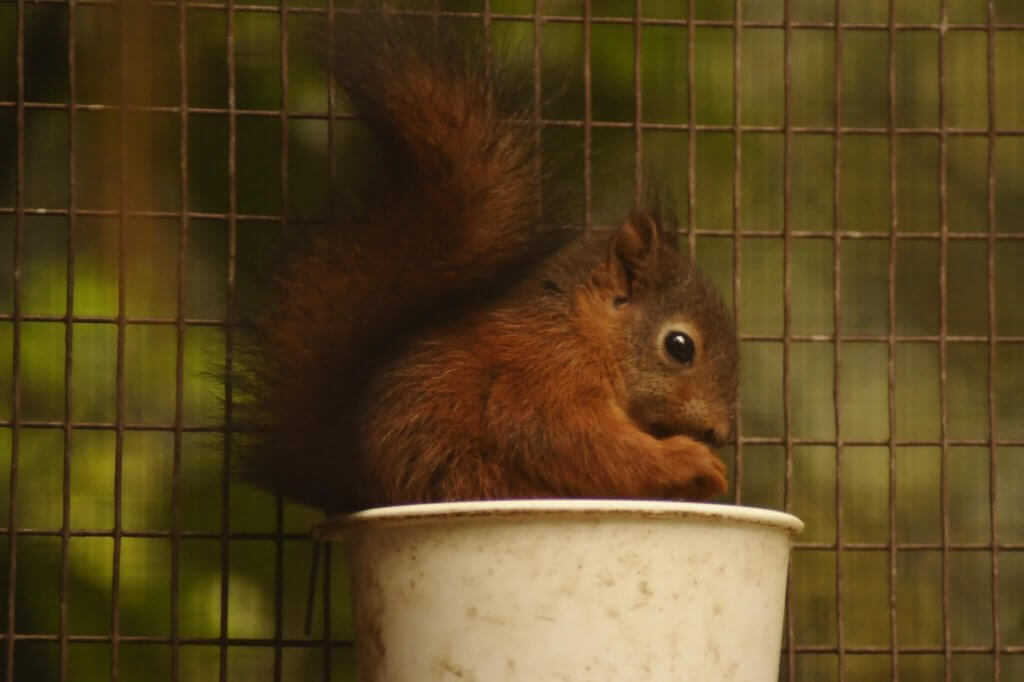 Baby red squirrel eating a nut at the Children's Zoo inside Walton Hall and Gardens. Displayed in the Children's Zoo Gallery.