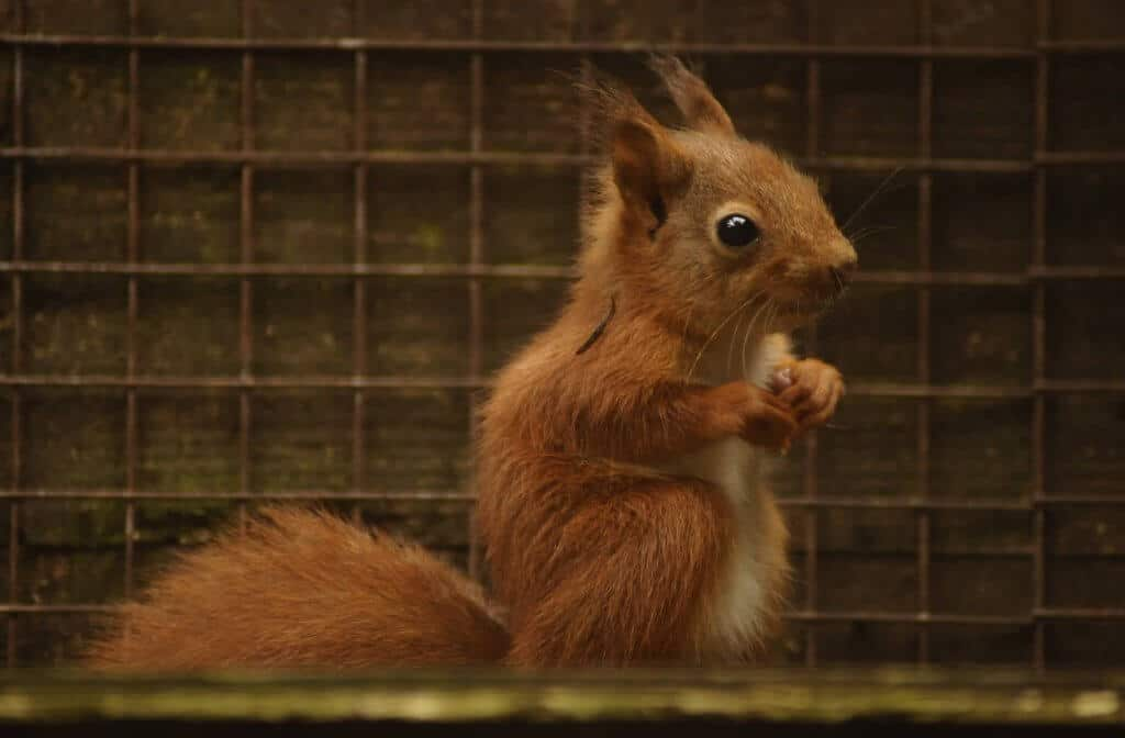 A beautiful red squirrel baby at Walton Hall and Gardens. Part of the Children's Zoo gallery.