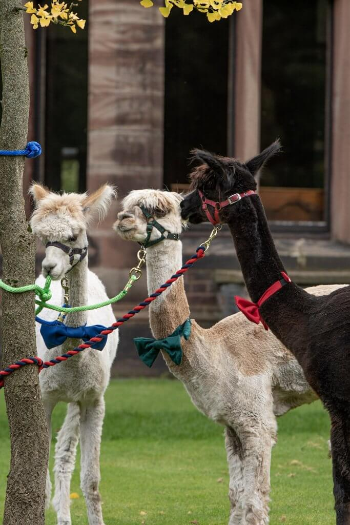 Our three alpacas are ready for to attend a wedding at Walton Hall and Gardens