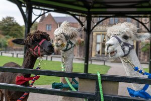 Our three alpacas are ready for to attend a wedding at Walton Hall and Gardens. Plan your visit to Walton Hall and Gardens today.