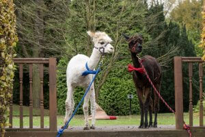 Alpaca posing at Walton Hall and Gardens before going to a wedding