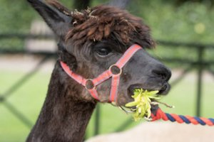Mally our beautiful alpaca chewing on leaves at Walton Hall and Gardens