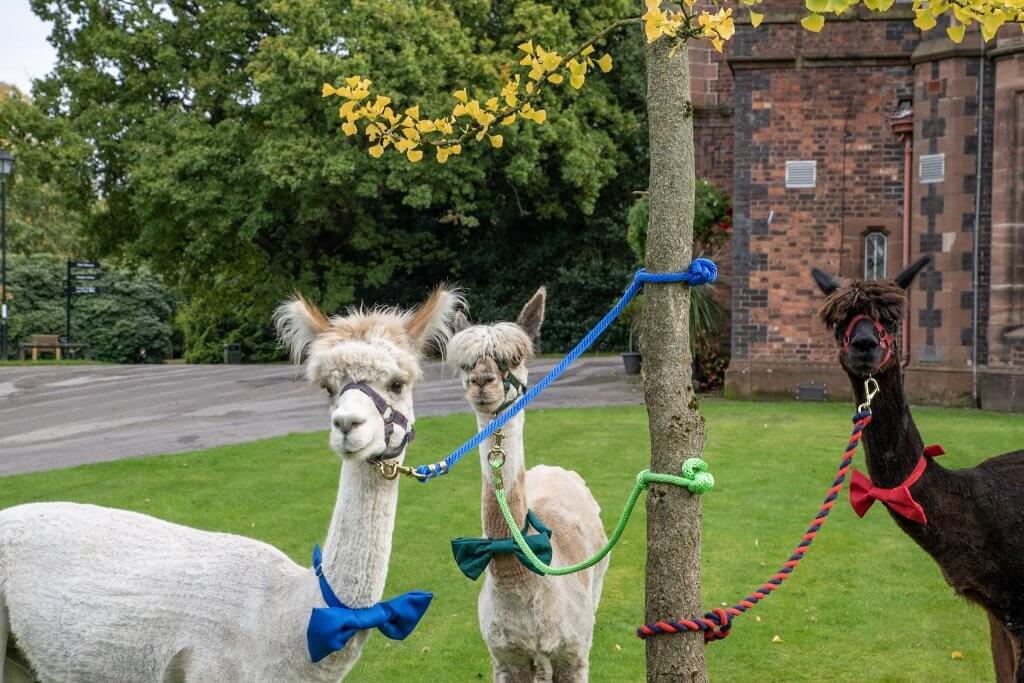 The three alpaca amigos ready to attend a wedding at Walton Hall and Gardens in Warrington