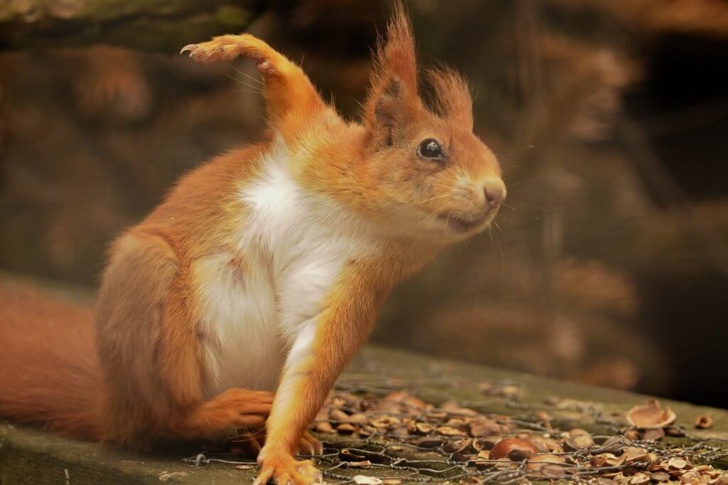 A red squirrel looking like it's going through its morning exercises at the Children's Zoo at Walton Hall and Gardens