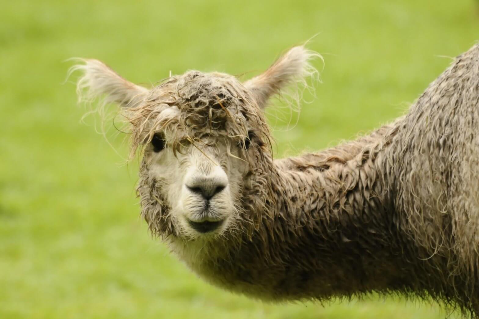 Topaz the alpaca after having a bathe at the Children's Zoo, Walton Hall and Gardens. Taken by keen amateur photographer Darren Moston.