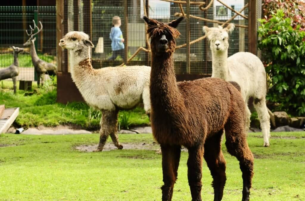 The three amigos. Our alpaca look proud at the Children's Zoo, Walton Hall and Gardens. Wildlife photography by Darren Moston.