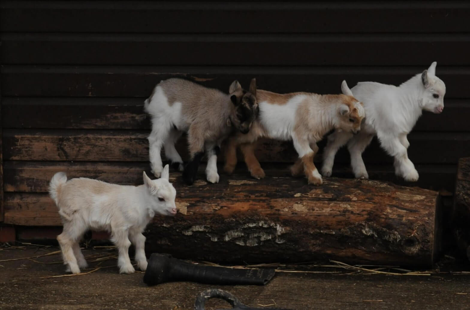 A new brood of African pygmy goats at the Children's Zoo, Walton Hall and Gardens 2020. Taken by keen amateur photographer Darren Moston - Easter