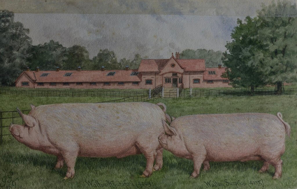 Illustration of the pigs at Walton Hall and Gardens estate. Heritage of Walton Hall and Gardens.