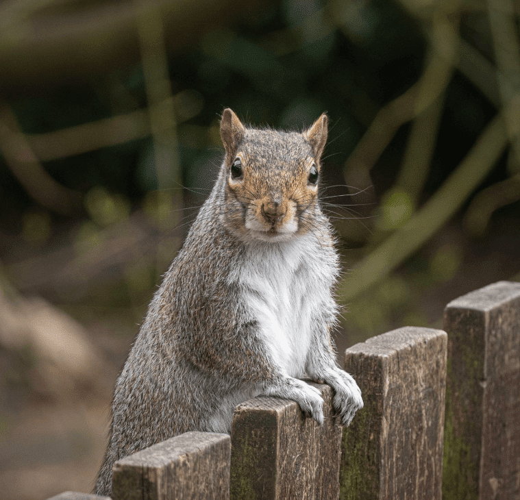 A grey squirrel popping up to say hello at Walton Hall and Gardens