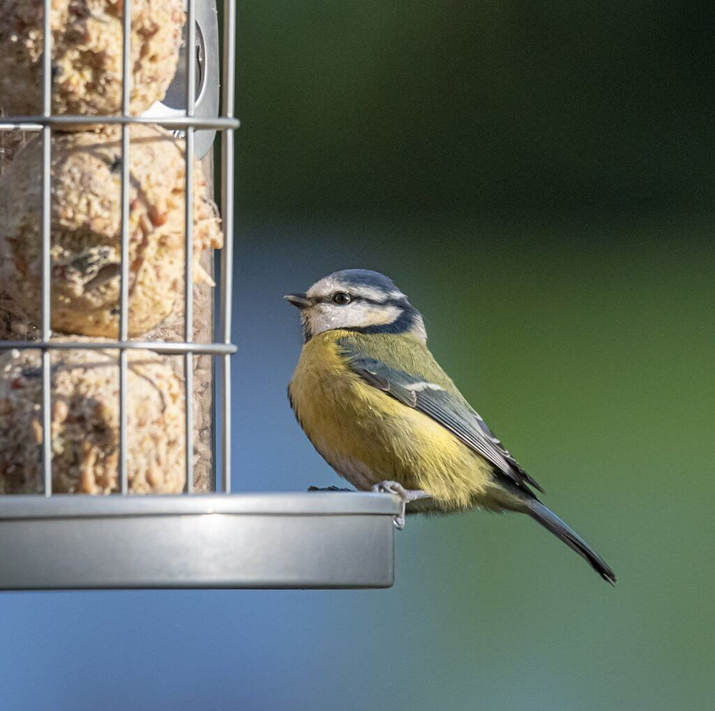 A blue tit on a feeder at Walton Hall and Gardens