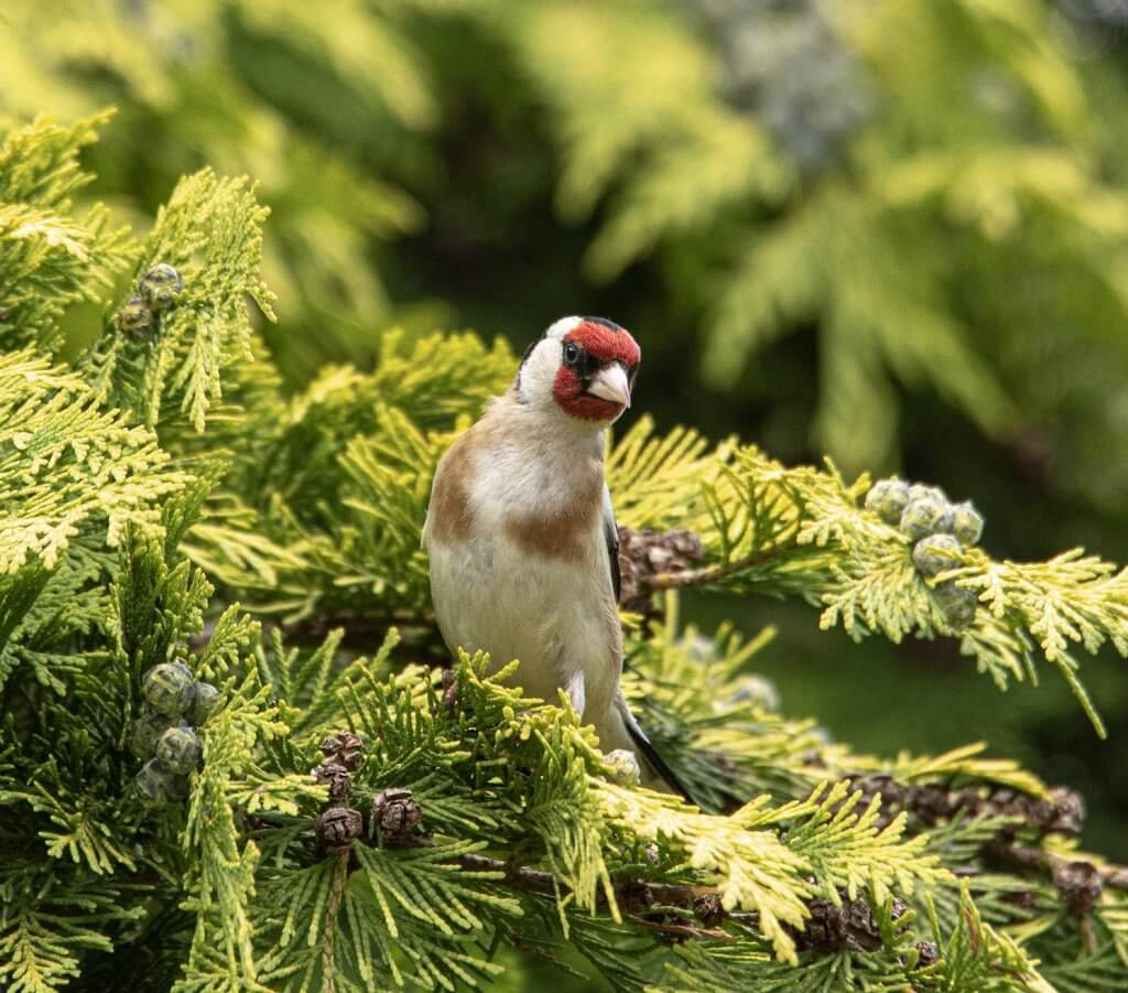 Wildlife snap of Goldfinch by Andy Gilbert at Walton Hall and Gardens