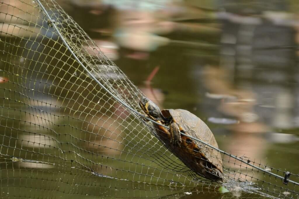 Terrapin climbing out of the pond at Walton Hall and Gardens