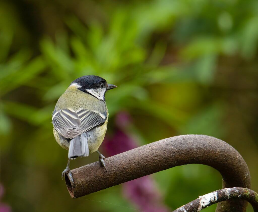 Wildlife snap of a Great Tit by Andy Gilbert at Walton Hall and Gardens
