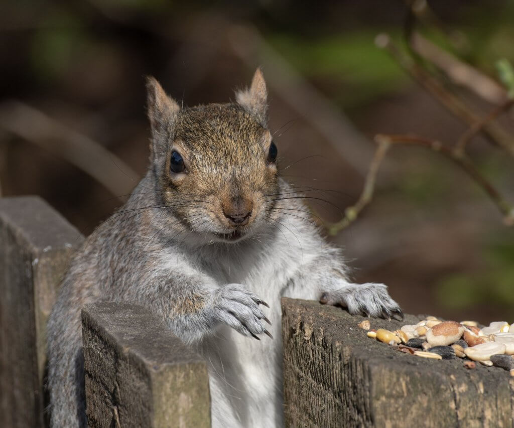 Wildlife snap by Andy Gilbert at Walton Hall and Gardens. A picture of a Grey Squirrel.