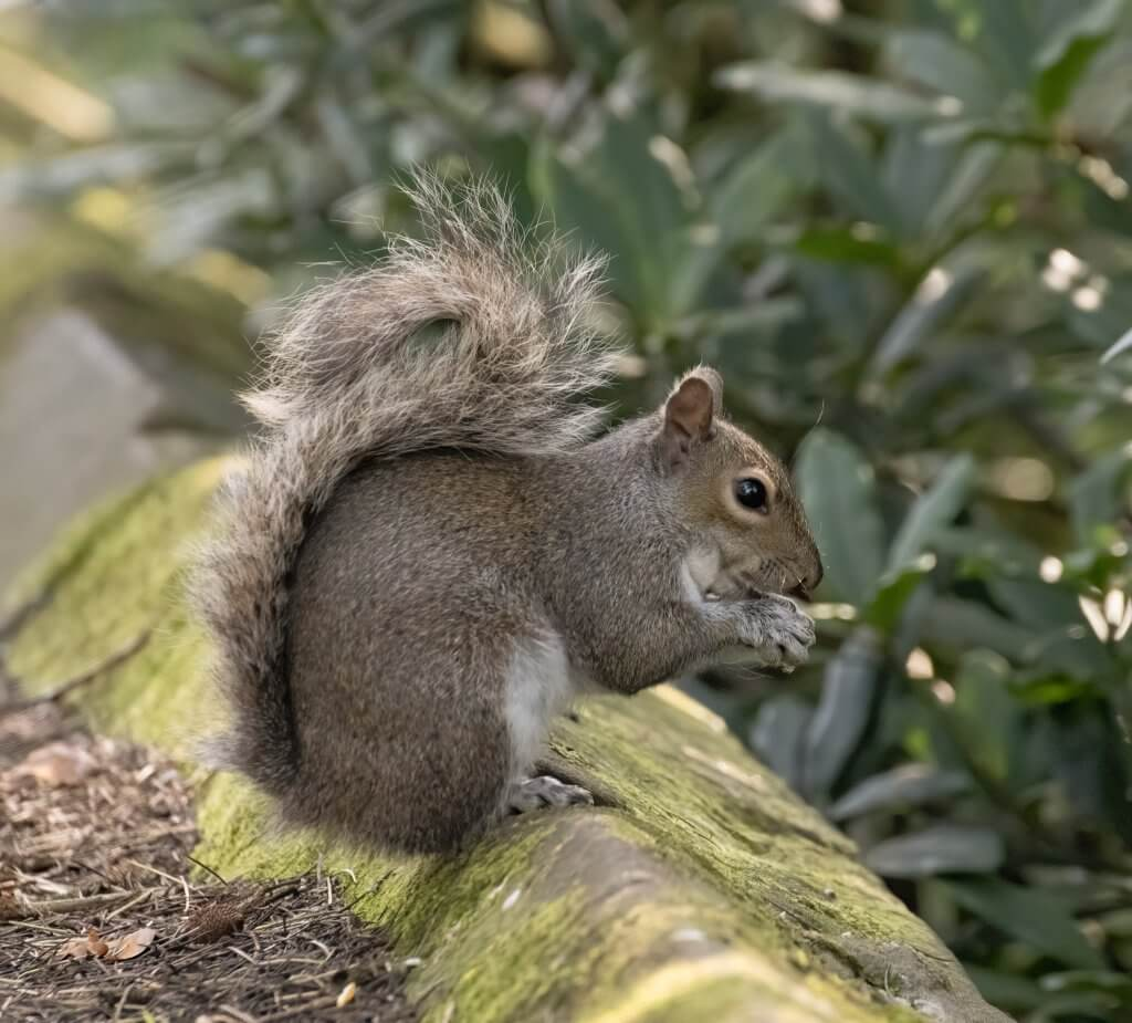 Wildlife snap by Andy Gilbert at Walton Hall and Gardens. A grey squirrel eating at Walton Hall and Gardens.