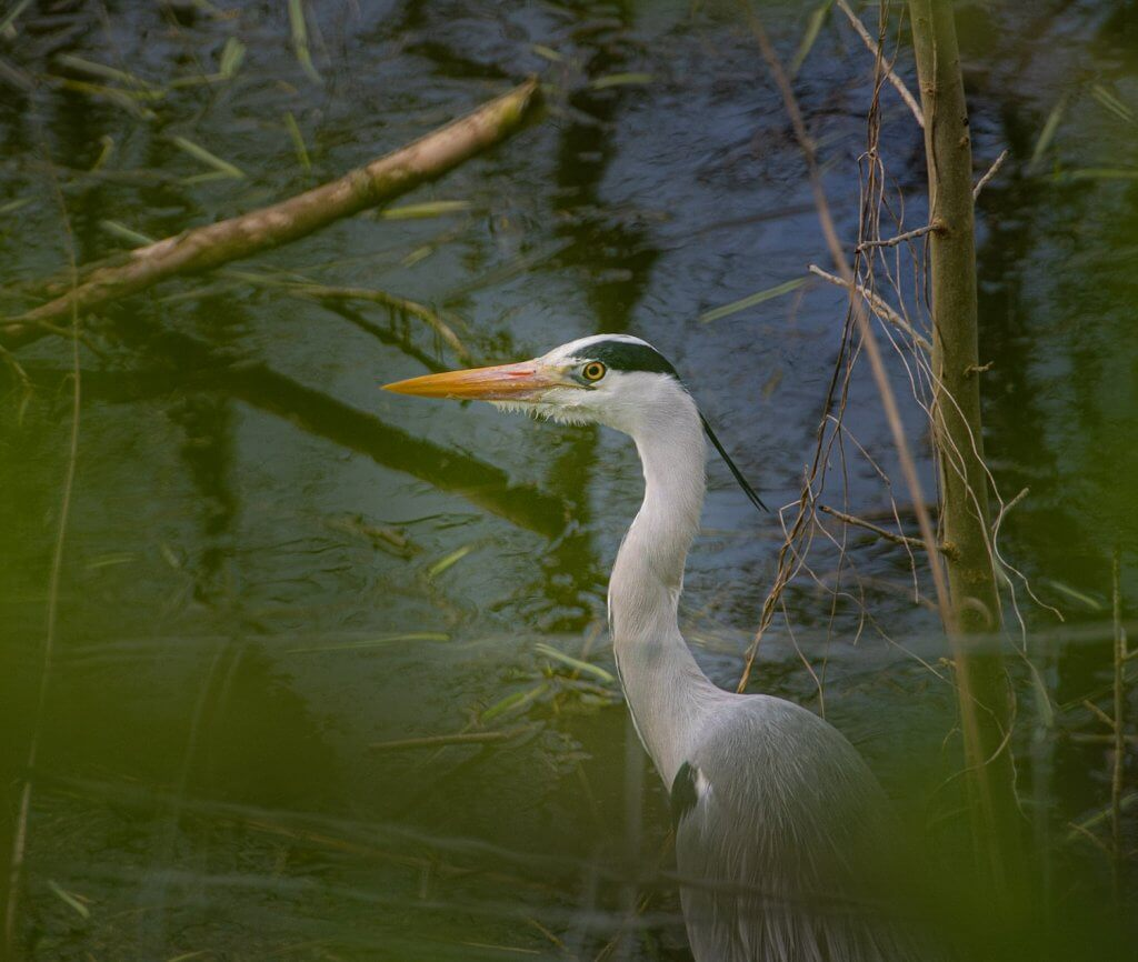 A heron stalking the pond at Walton Hall and Gardens