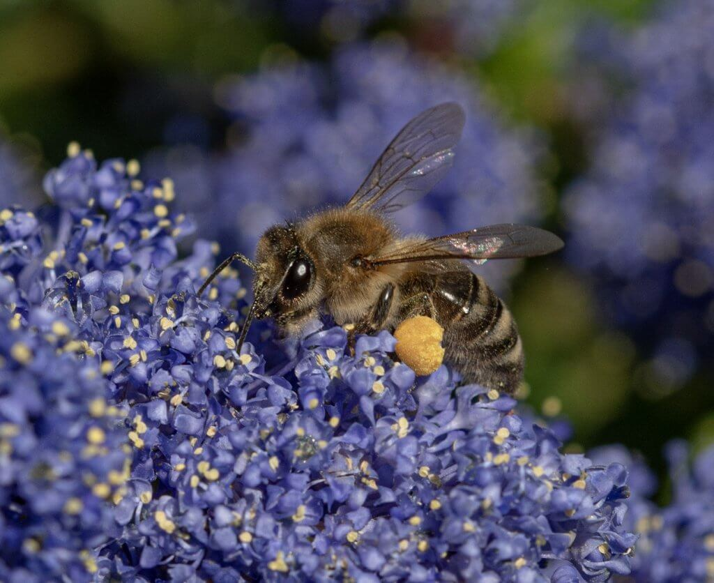 Wildlife snap of a honey bee by Andy Gilbert at Walton Hall and Gardens