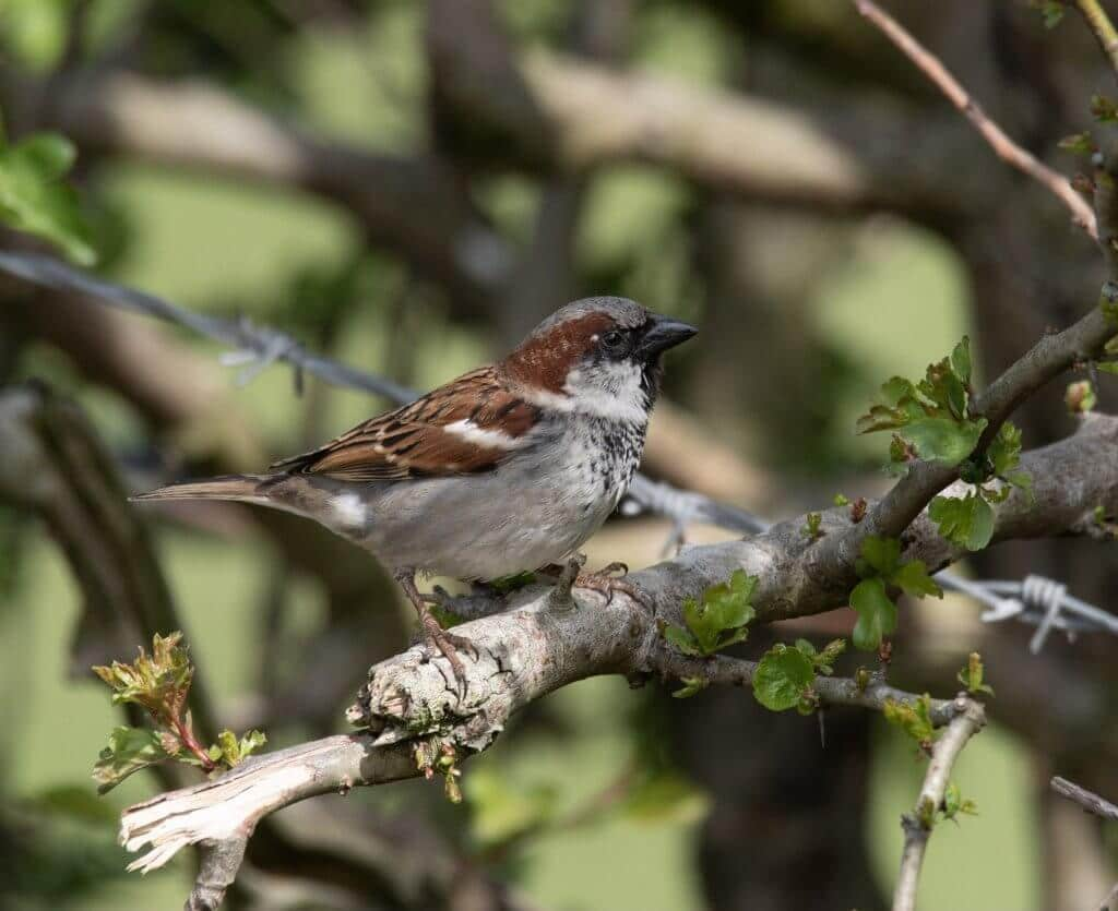 Wildlife snap of a sparrow by Andy Gilbert at Walton Hall and Gardens