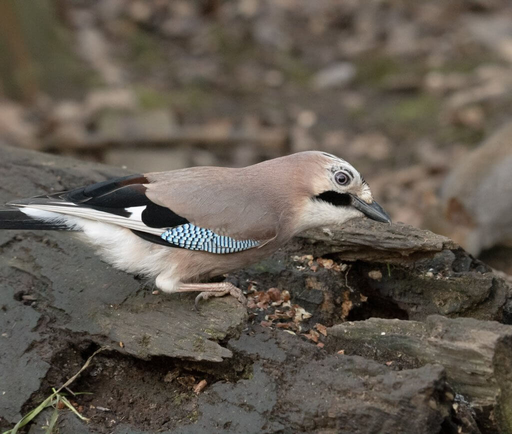 Wildlife snap of a beautiful Jay by Andy Gilbert at Walton Hall and Gardens