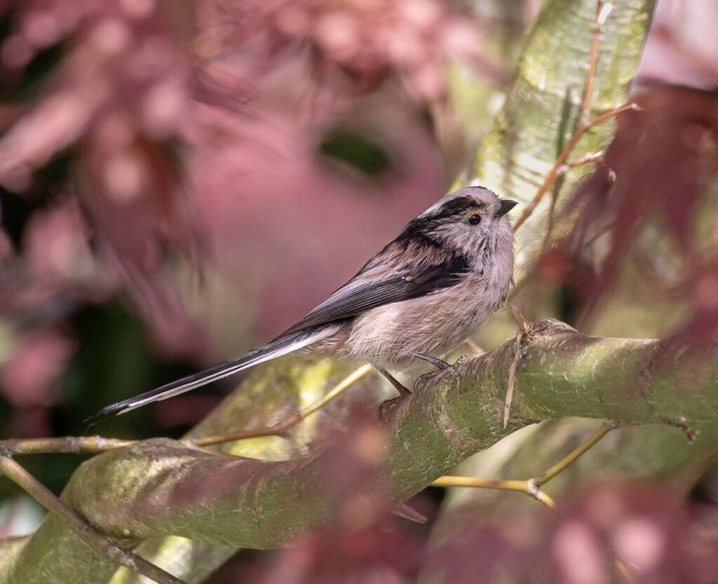 A long-tailed tit perched in a blossom tree at Walton Hall and Gardens