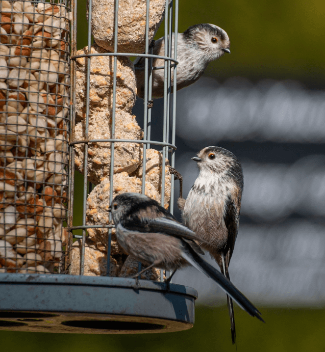 Long-tailed tits feeding on a bird feeder at Walton Hall and Gardens